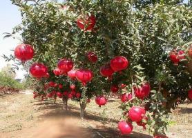 پوشش باغات انار بجستان با سازه های سبک