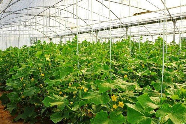 750 هزار تن محصولات گلخانه ای در استان قزوین فراوری می گردد