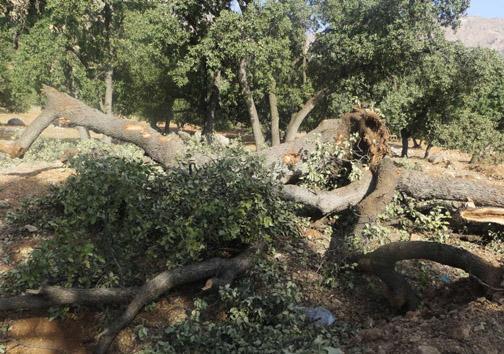 توسعه به هر قیمتی، حال درختان بلوط یاسوج- سی سخت خوب نیست