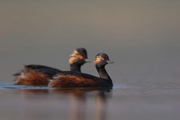 رهاسازی پرنده کشیم گردن سیاه در سواحل زاینده رود