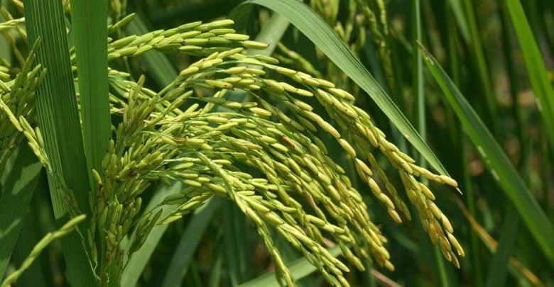 برنج طلایی به حل بحران کمبود ویتامین A یاری می نماید